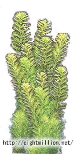 水草:ミリオフィラム・エラティノイデス