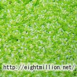 水草:ウキクサ