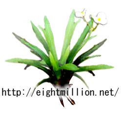 水草:ウリカワ