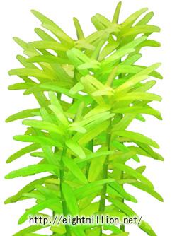 水草:グリーンロタラ