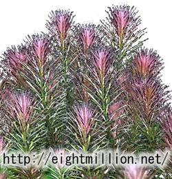 水草:リスノシッポ