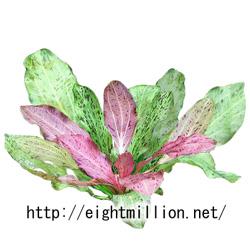 水草:エキノドルス・オゼロット