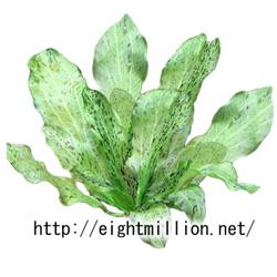 水草:エキノドルス・オゼロット・グリーン