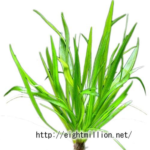水草:エキノドルス・テネルス(ピグミーチェーンアマゾンソード)