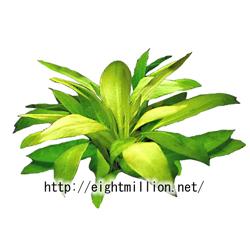 水草:エキノドルス・パニクラツス