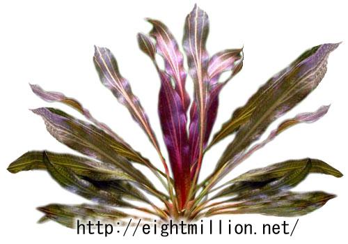 水草:エキノドルス・ホレマニー・レッドタイプ