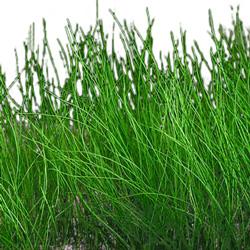 水草:エレオカリス・ミニマ