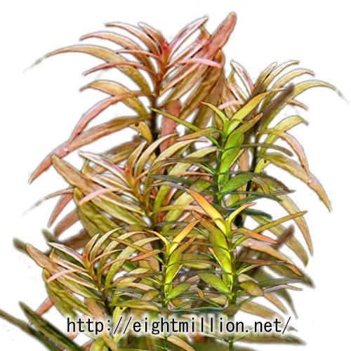 水草:ニードルリーフ・ルドウィジア