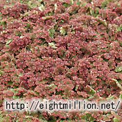 水草:オオアカウキクサ(アゾラ)
