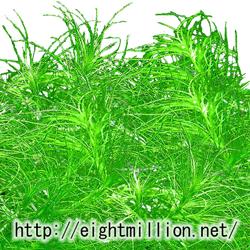 水草:オオトリゲモ