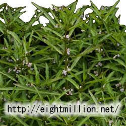 水草:オギノツメ