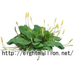 水草:オロンティウム・アクアティクム