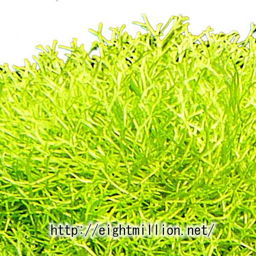水草:カズノゴケ