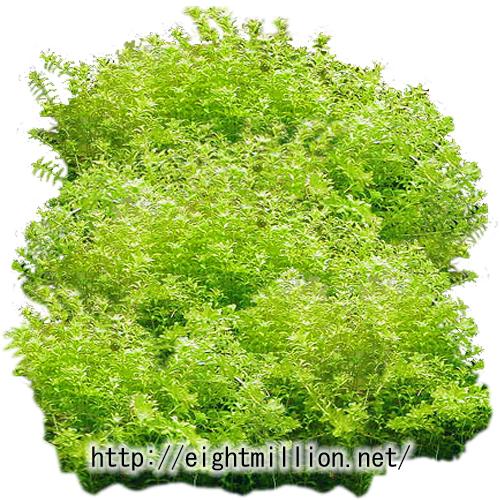 水草:ニューパールグラス