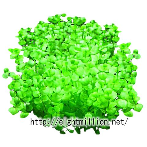水草:ラージパールグラス