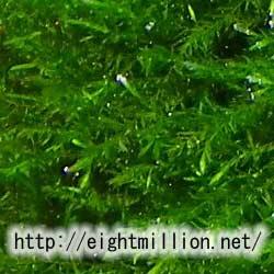 水草:カワゴケ