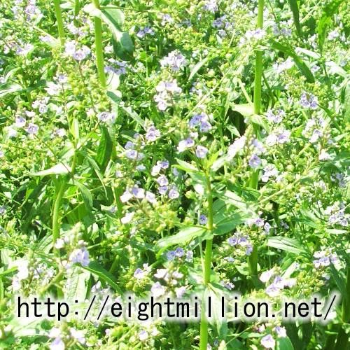 水草:カワヂシャ