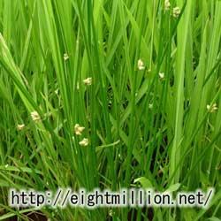 水草:カンガレイ