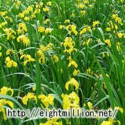 水草:キショウブ