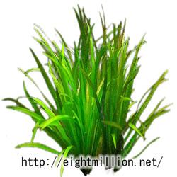 水草:ブリクサ・エキノスペルマ(スブタ)