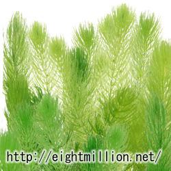 水草:金魚藻(キンギョモ)