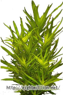 水草:ヘテランテラ・ゾステリフォリア