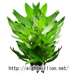 水草:グリーン・アマニア