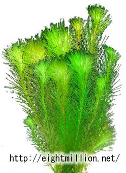 水草:マヤカ・フルヴィアティリス