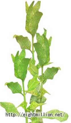 水草:フイリミズヒマワリ