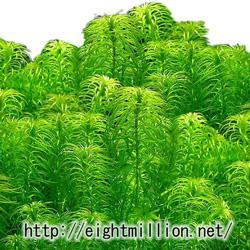 水草:ラガロシフォン・マヨール
