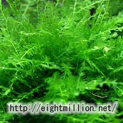 水草:ウィローモス
