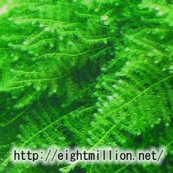 水草:南米ウィローモス