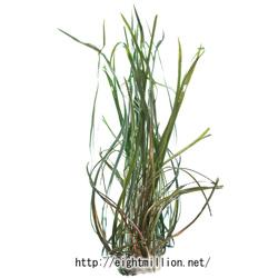 水草:クリプトコリネ・トンキネンシス