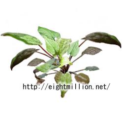 水草:クリプトコリネ・ロンギカウダ