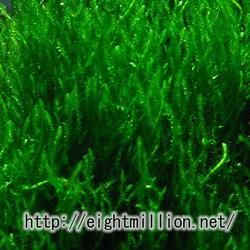水草:ジャワモス