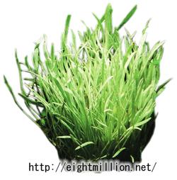水草:コブラグラス・シルバーエッジ