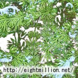 水草:コタヌキモ