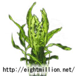 水草:ササバモ