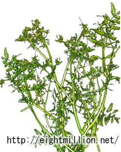 水草:シウム・フロリダヌム