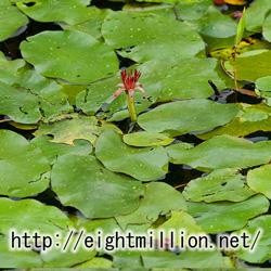 水草:ジュンサイ