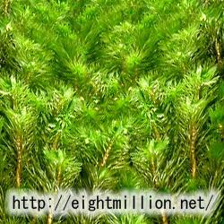 水草:スギナモ