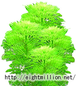 水草:セイヨウアンブリア