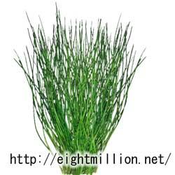水草:セイヨウミズニラ
