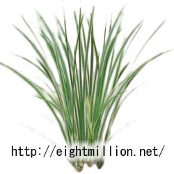 水草:セキショウ