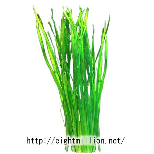 水草:セキショウモ