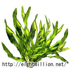 水草:セロハンプラント