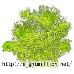 水草:タヌキモ