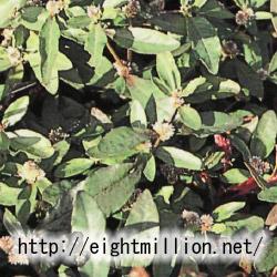 水草:ツルノゲイトウ