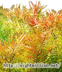 水草:ディディプリス