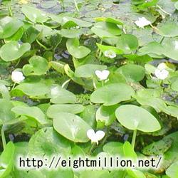 水草:トチカガミ